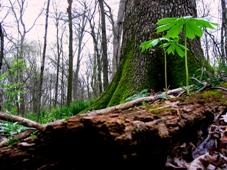 schulze-tree