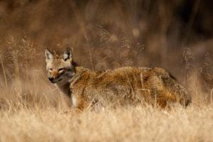 Ozark Coyote