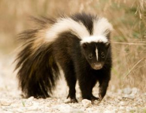 Ozark Striped Skunk