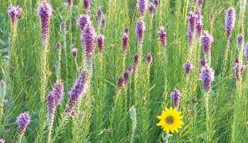 prairie wildflowers ozarks